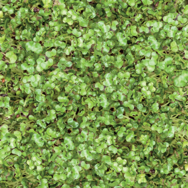 Heimgart mikrolistki - brokuł